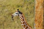 Young reticulated giraffe feeding