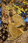 Yellow Baboon (Papio cynocephalus) mother and young, Kafue National Park, Zambia