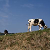 Una mucca al pascolo nel Parco di Montevecchia in Brianza...A cow at grazing in the Montevecchia Park in Brianza.