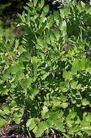 Liebstöckel, Blatt, Blätter vor der Blüte, Liebstöckl, Maggikraut, Levisticum officinale, Lovage