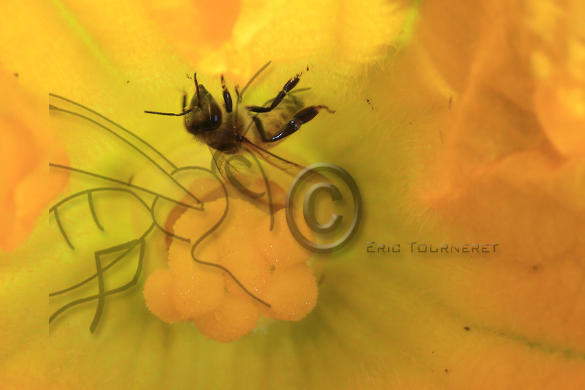 A bee collecting nectar from a zucchini flower.<br /> ///Une abeille butine dans une fleur de courgette.