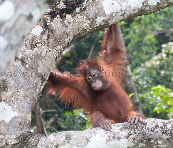 Primate_Organutang