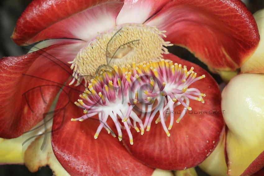 "A tropical flower,""Bolo de Canon""from the Cannonball tree (couroupita guianensis). The trees manipulate the bees in order to be pollinated and their strategy is to not produce nectar at the same time but one after the other so that the bees carry their pollen from tree to tree.///Une fleur tropicale «Bolo de canon», couroupita guianensis. Les arbres manipulent les abeilles pour se faire polliniser et leur stratégie et de ne pas produire du nectar en même temps mais l'un après l'autre pour que les abeilles transportent leurs pollen d'arbre en arbre."