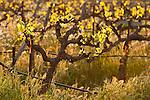 Budding old-vine vineyard in Amador County's Shenandoah Valley