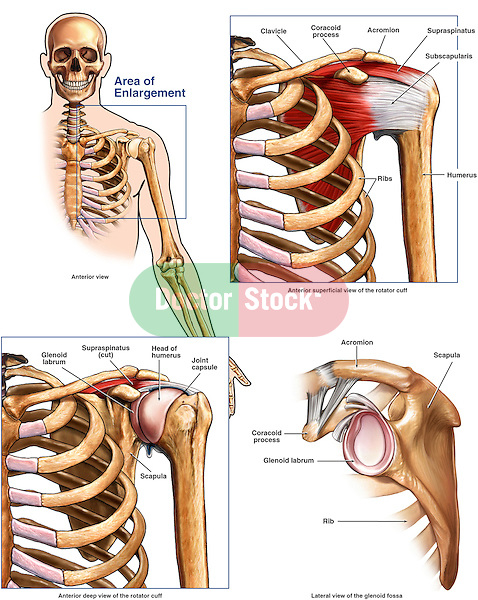 Anatomy Of The Shoulder And Rotator Cuff Doctor Stock
