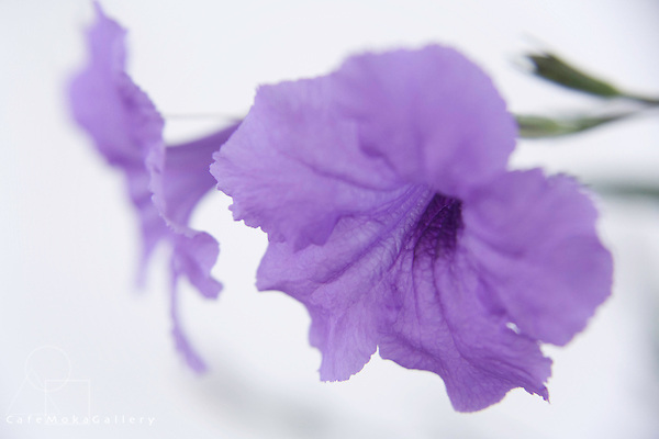 The Colour Purple -Dreamy mauve flower,  called locally Morning glory,