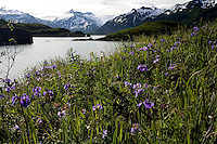 Lupine and wild iris bloom in Kukat Bay, Katmai National Park, Alaska.