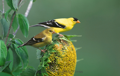 Two male goldfinch, Carduelis tristis, or wild canary, perch on head of sunflower in profile