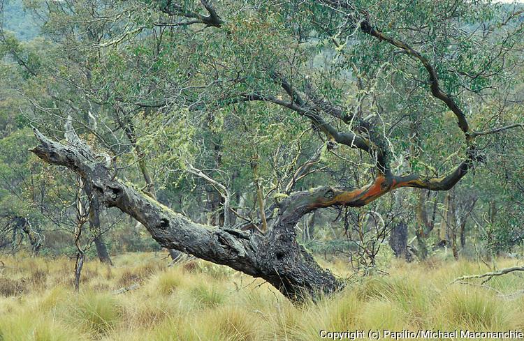 Black Sallee Tree, Eucalyptus stellulata, Australia