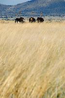 4415 / Vogelstrauss: AFRIKA, SUEDAFRIKA, 12.01.2007:Landschaft in der Halbwueste Karoo, Vogelstrauss