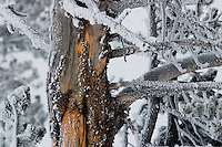 Tree trunk laced with winter snow and ice crystals near Alum Creek, Hayden Valley, Yellowstone National Park, Wyoming, United States of America
