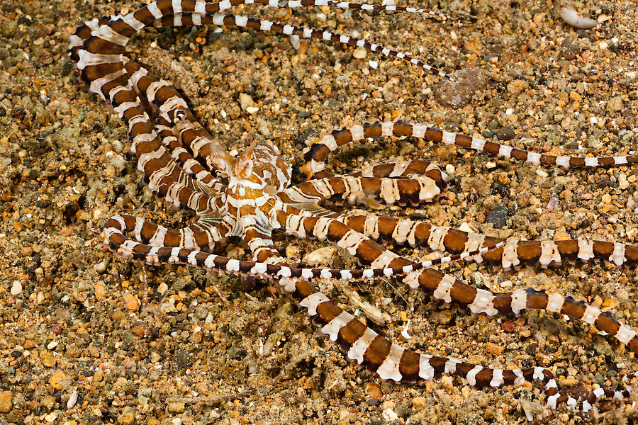 Mimic octopus, Thaumoctopus mimicus, Philippines.  Some believe that this octopus intentionally mimics the appearance of other animals as a form of camouflage.