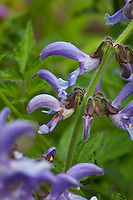 Blue flowers of Perennial herb, Red Sage (Dan-Shen) Salvia miltiorrhiza aka Chinese sage, tan shen, or danshen