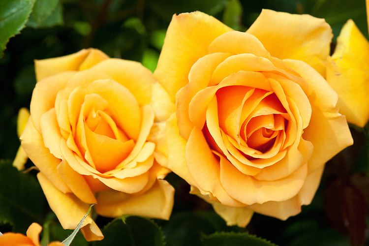Rosa Simply the Best ('Macamster'), early July. A hybrid Tea rose with rich, apricot-orange flowers.