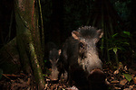 White-lipped Peccary (Tayassu pecari) pair in tropical rainforest, Cocobolo Nature Reserve, Mamoni Valley, Panama