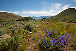 Idaho, South Central, Custer County, Mackay.  A patch of mountain bluebells blooms in late spring in hte White Knob Mountains with the Lost River Range in the distance.
