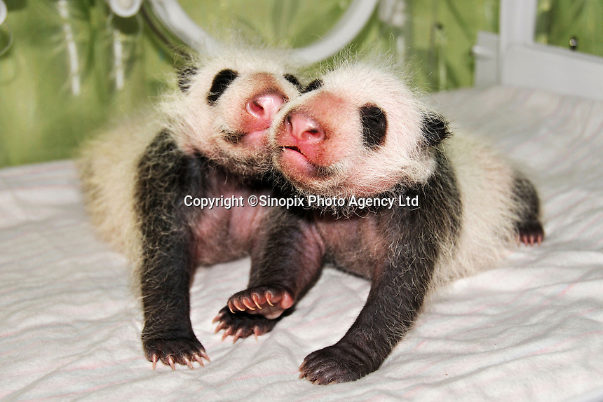 Baby twin pandas at the Chengdu Giant Panda Breeding and Research Base, China..