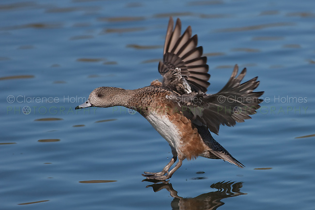 American Wigeon (Anas americana) - Female gliding in for a water landing