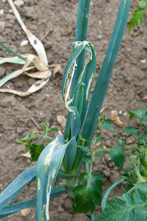 The leaves and stems of leek plants eaten by an infestation of leek moth caterpillars (Acrolepia assectella), early August.