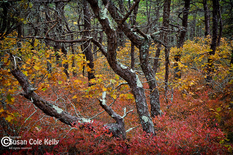 Pitch Pine forest at Marconi Beach, Cape Cod National Seashore, Wellfleet, MA, USA