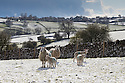 26/04/16<br /> <br /> Sheep and young lambs near Alstonefield in the Staffordshire Moorlands after snowfall in the Peak District this afternoon.<br /> <br /> All Rights Reserved: F Stop Press Ltd. +44(0)1335 418365   www.fstoppress.com.