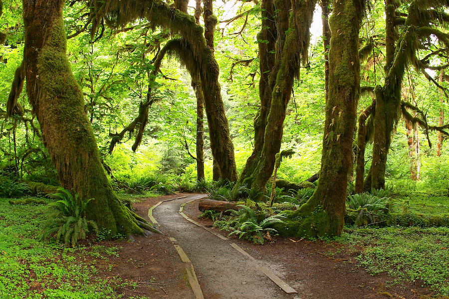 Trail through temperate old growth rain forest, Hall of Mosses Trail, Hoh Rain Forest, Olympic National Park, Olympic Peninsula, Jefferson County, Washington, USA