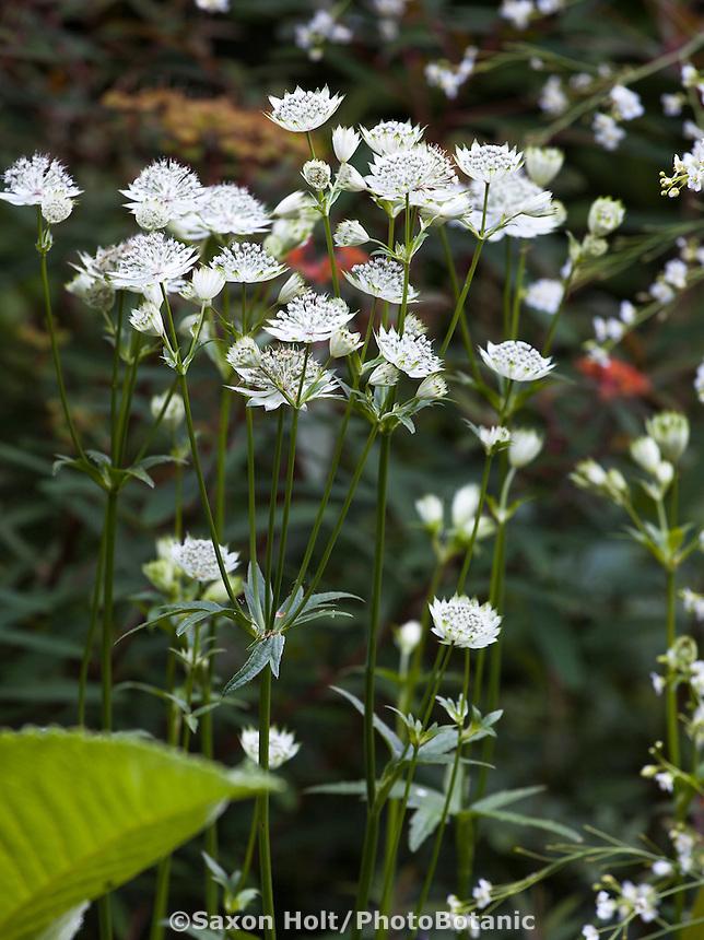 White flowering perennial Astrantia major 'White Giant' or Great Masterwort