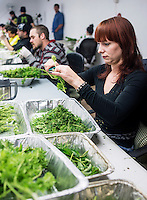 Lara Herzog (cq) trims marijuana buds at the Medicine Man grow house in Denver, Colorado, Tuesday, March 5, 2013. With Colorado's Amendment 64, the state has been working to decide how it will transition to legalized marijuana in the state...Photo by Matt Nager
