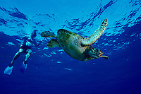 A man snorkels along with a Green Sea Turtle (Honu) in Hanuama Bay, Oahu.