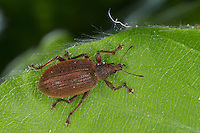 Kupfriger Glanzrüssler, Kupfriger Glanzrüßler, Kupferfarbener Glanzrüssler, Rüsselkäfer, Rüssler, Rüßler, Polydrusus mollis, Eudipnus mollis, Weevil, Weevils