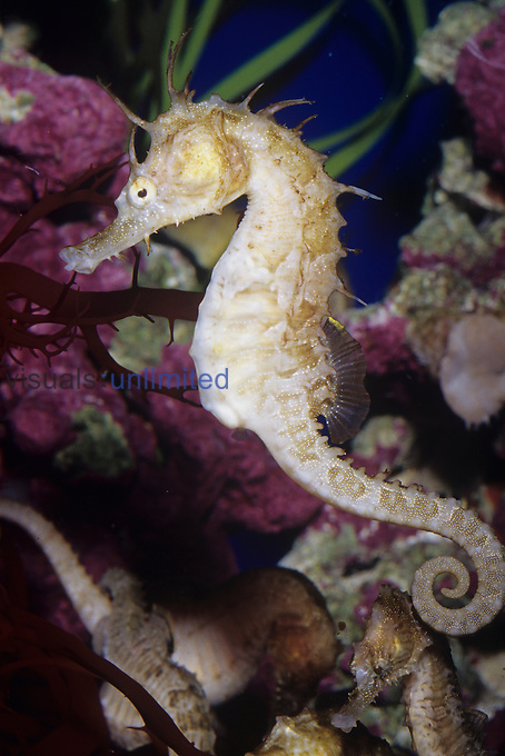 Seahorse (Hippocampus).