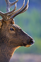 Bull elk portrait