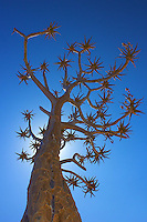Quiver Tree at Fish River Canyon, Namibia