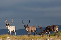 Rentier, Ren-Tier, Europäisches Ren, domestiziert, Rangifer tarandus, reindeer, Tundrarentier, Tundra-Rentier, Karibu, caribou, Nord-Norwegen