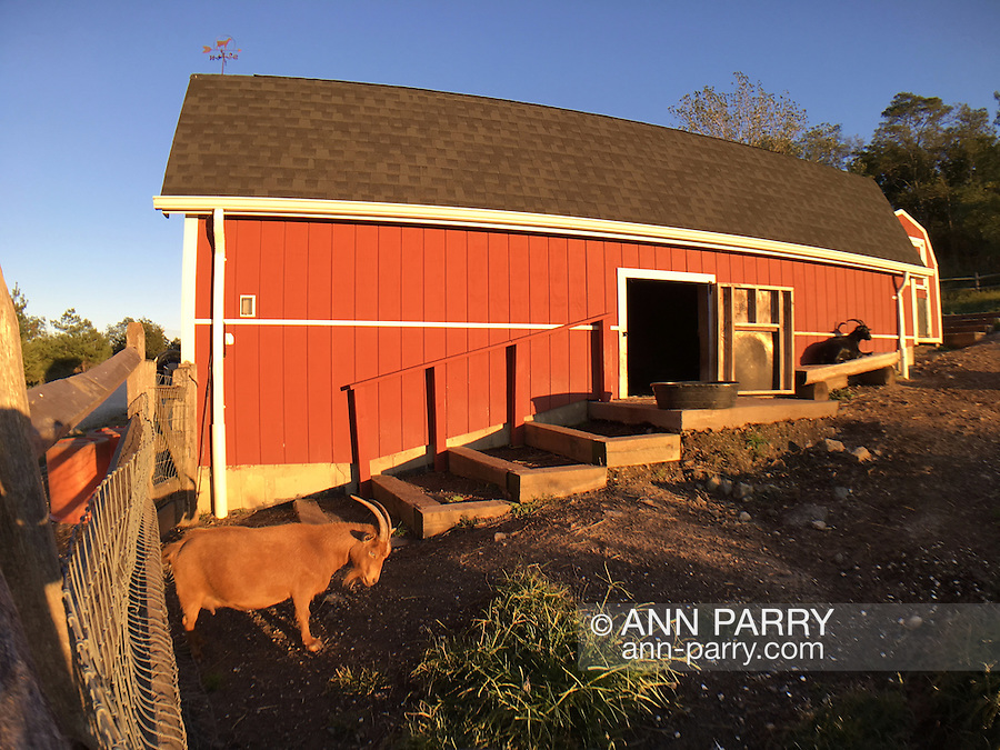 Merrick, New York, USA. September 22, 2016. Nigerian Dwarf Goats enjoy first day of Autumn, the Autumnal Equinox, outdoors, by their red barn, at Norman J. Levy Park and Preserve, on the South Shore of Long Island.