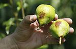 Foto: VidiPhoto<br /> <br /> ECHTELD – Voor het eerst in zijn leven moet fruitteler Berend-Jan van Westreenen uit Echteld zijn beregeningsinstallatie midden op de dag inzetten om zonnebrand bij zijn peren te voorkomen. De temperatuur loopt tussen de bomen op tot 45 graden Celsius en met een felle zon op de vruchten ontstaat dan zonnebrand. Daarmee worden peren onverkoopbaar. Van het ras Doyenne du Comice zijn al een aantal peren verbrand, maar ook de gangbare Conference heeft een gevoelige schil. In de perenteelt is beregenen tegen zonnebrand taboe, omdat dan het blad 'verbrand'. En zonder gezond blad geen oogst. Volgens Berend-Jan is er echter geen alternatief op dit moment. Voor telers in Zuid-Limburg en België die vrijwel niet kunnen beregenen dreigt nu een rampseizoen.