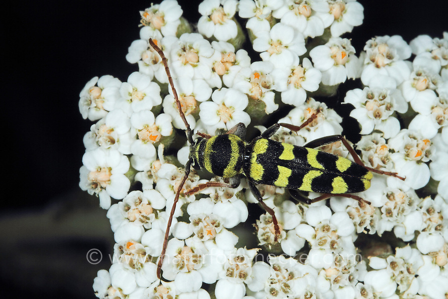 Luzernenbock, Luzernebock, Luzernenbock-Käfer, Luzernen-Bockkäfer, Plagionotus floralis, Echinocerus floralis, Paraplagionotus floralis, Lucerene longicorn, Alfalfa longhorn beetle