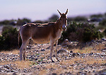 Asiatic Wild Ass, or onager, Great Gobi Protected Area, Mongolia (Endangered)