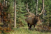 Huge Rocky Mountain Elk bull (Cervus elaphus).  Northern Rockies.  Fall.