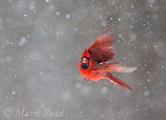 Northern Cardinal (Cardinalis cardinalis) male in flight during snowstorm, New York, USA