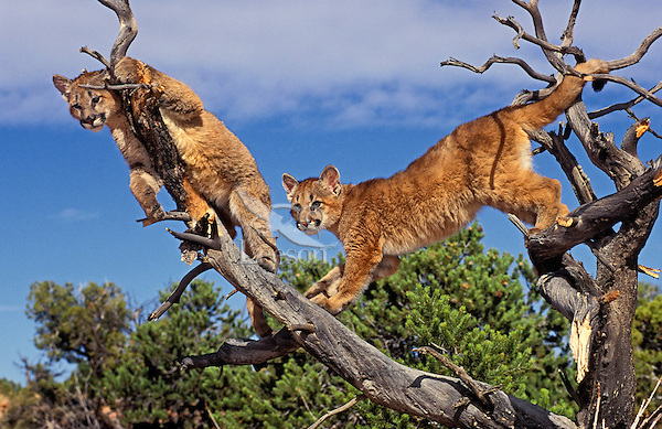 COUGAR/MOUNTAIN LION/PUMA..Four month old cubs climbing snags..Near Canyonlands National Park,.Utah. Autumn. (Felis concolor).