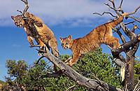 COUGAR/MOUNTAIN LION/PUMA..Four month old cubs climbing snags..Near Canyonlands National Park,.Utah. Autumn. (Felis concolor).