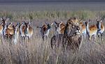 African lion & Lechwe, Okavango, Botswana
