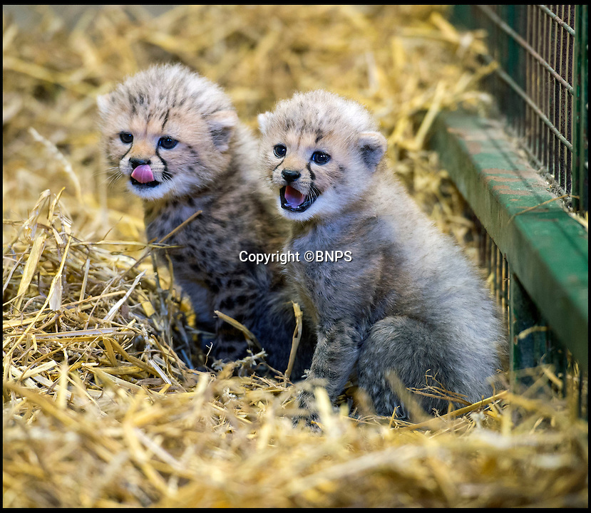 BNPS.co.uk (01202 558833)<br /> Pic: Longleat/BNPS<br /> <br /> The first Cheetah cubs ever born at Longleat.<br /> <br /> A pair of super-rare cheetah cubs are thriving after being born at the Wiltshire Safari park.<br /> <br /> The pair, a male and a female, were born last month and will remain inside with mum Wilma until they are 12 weeks old.<br /> <br /> The cheetah is the fastest developing member of the cat family. Longleat&rsquo;s cubs opened their eyes after just six days, began moving around on their own within three week and started chewing on bones at five weeks.<br /> <br /> Cheetahs are the world&rsquo;s fastest land animals; capable of top speeds of 71 miles per hour. While running they can cover four strides in a second with each stride measuring up to eight metres.