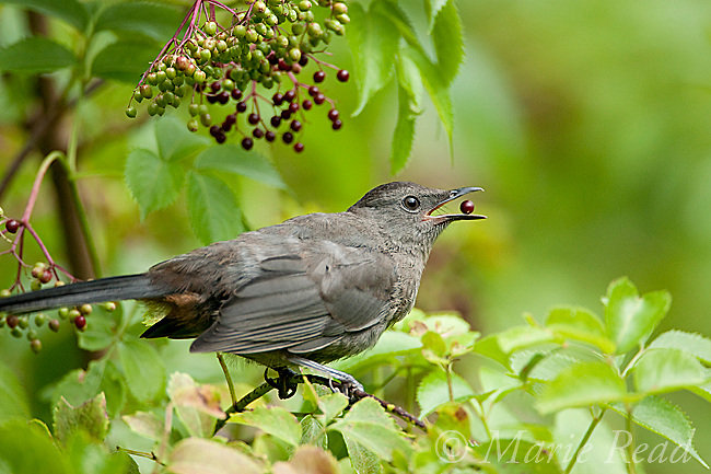 Gray Catbird (Dumetella carolinensis), feeding on fruits of American Elder (Sambucus canadensis) in late summer, New York, USA