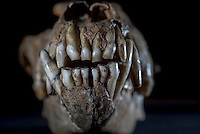 Belgium. Brussels. London. 17th November 2015<br /> A wolfskull believed to be 25,000 years old at the Royal Belgian Institute of Natural Sciences<br /> Andrew Testa for the New York Times
