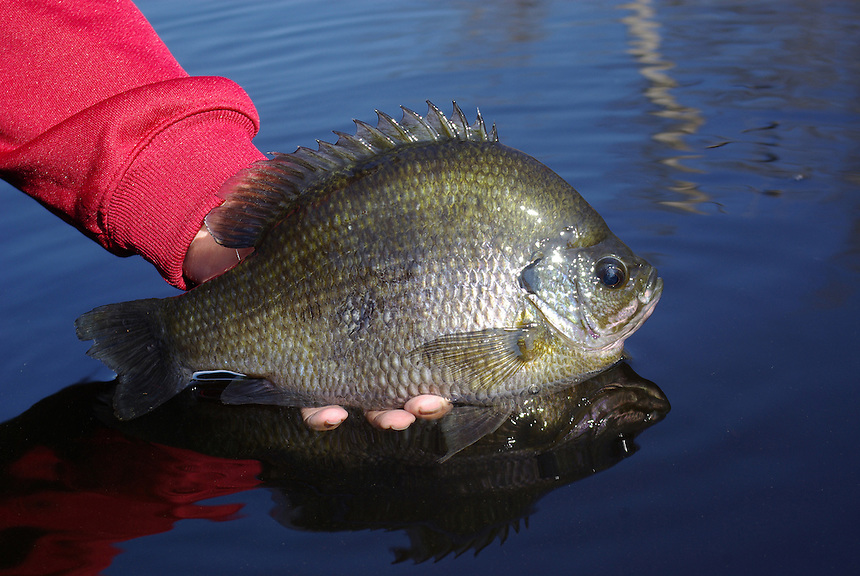 Trophy bluegill, Richmond Mill Lake near Laurel Hill, North Carolina