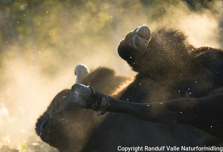Amerikansk bison (Bison bison athabascae) bader i sanden nær Yellowknife i Canada. ---- American bison (Bison bison athabascae) sand bathing near Yellowknife, Canada.