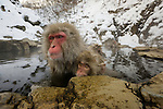 Japanese Macaques, Japanese Alps, Honshu Island, Japan
