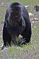 Big Black Bear, Yellowstone National Park
